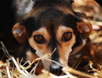 Istorija apie šunį Šafraną