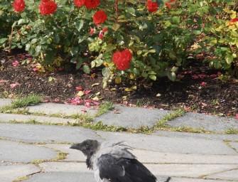 Rožė ir varnas