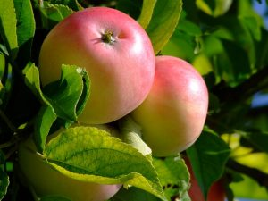 apple-1045330_960_720