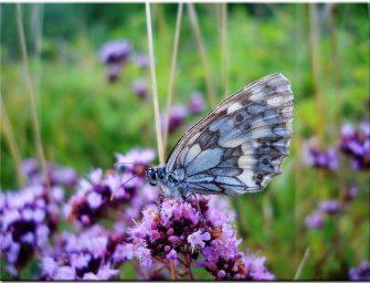 Kaip prisijaukinti tylos kalno drugelį